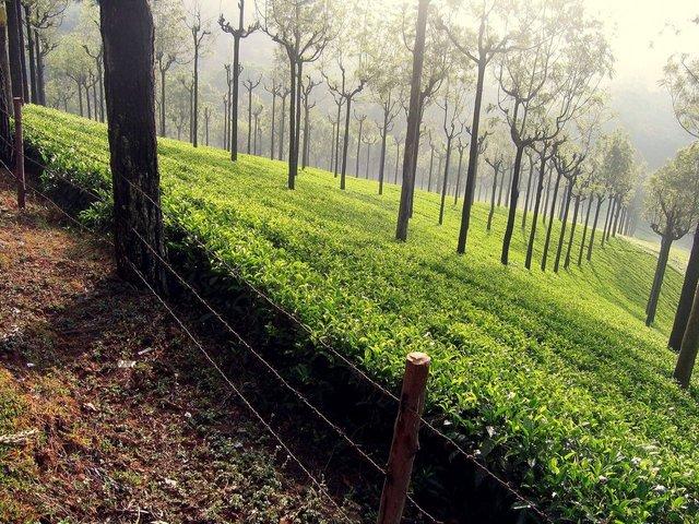 culture des thés