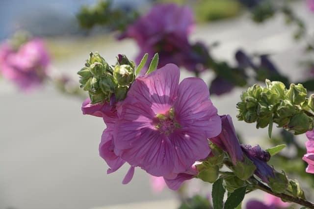 Thé d'hibiscus : Bienfaits pour la santé, effets secondaires et recettes (débutant)