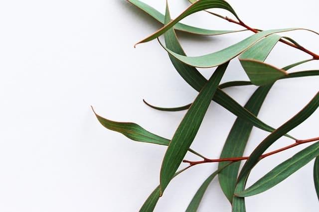 Bienfaits Tisanne d'eucalyptus