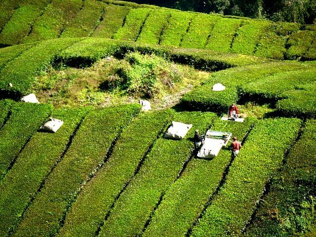 Ce que vous devez savoir sur le thé vert japonais Gyokuro (guide complet)