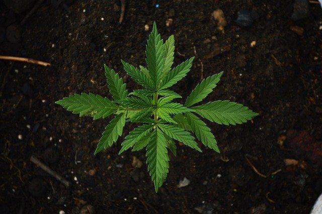 bienfaits de thé au cannabis