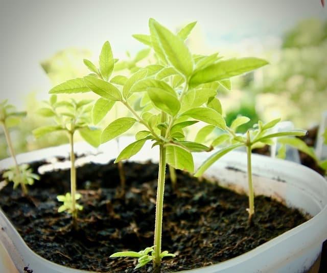 La citronnelle, la plante aux 1001 bienfaits