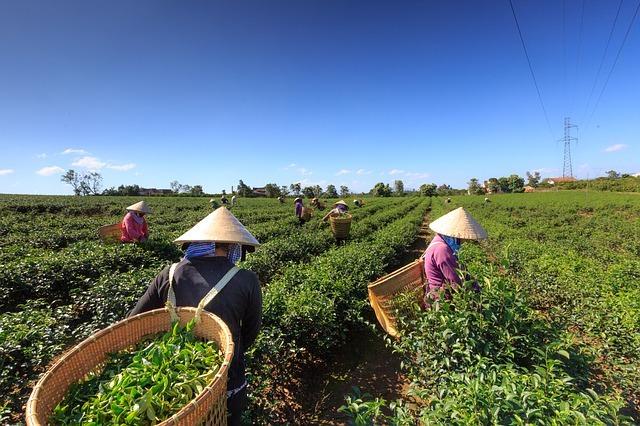 recolte de thé vert
