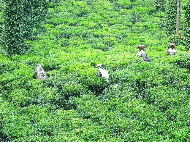 plantation de thé Oolong