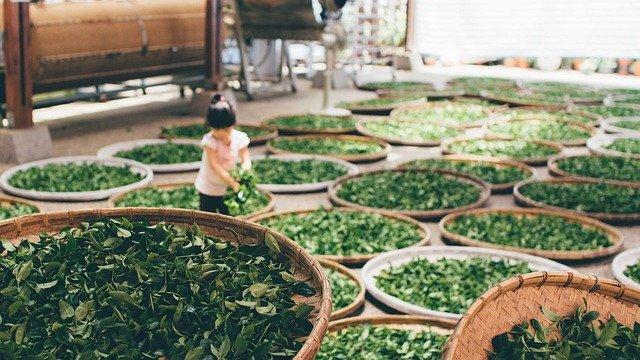 Préparation des feuilles de thé Oolong