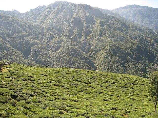 Jardin de thé Darjeeling