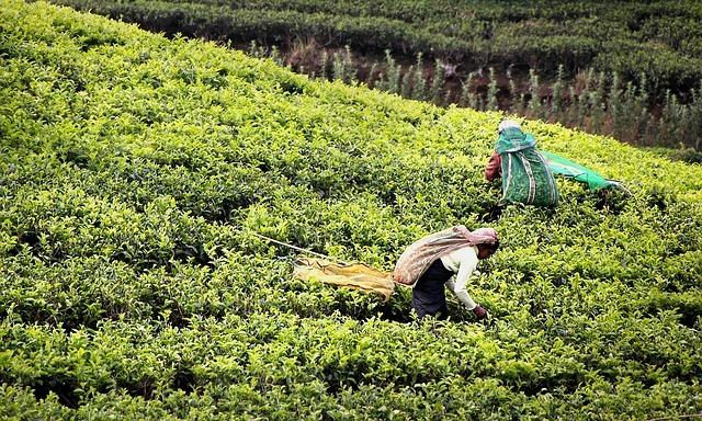 Qu'est-ce que le thé Darjeeling?