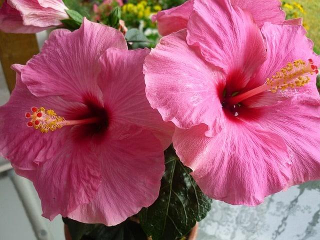 thé à l'hibiscus contient de la vitamine C