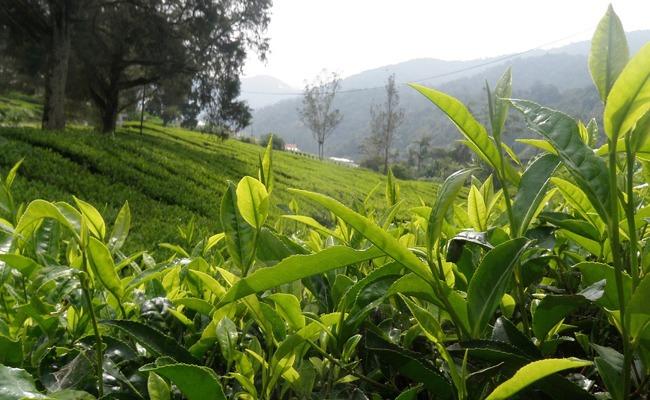 la plante Camellia sinensis