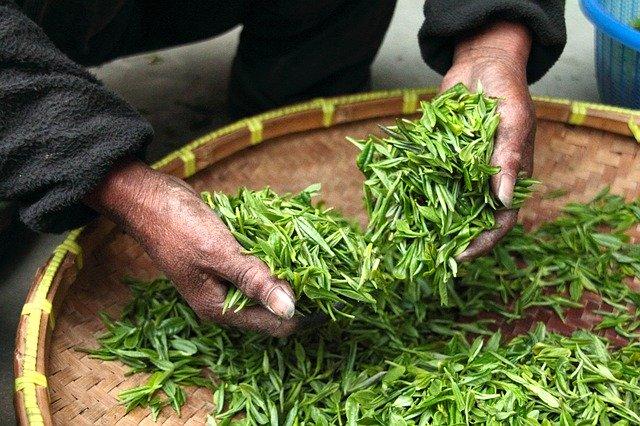 Comment est élaboré le thé? (pas à pas)