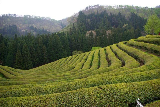 3 faits amusants sur la culture du thé (épatez vos amis)