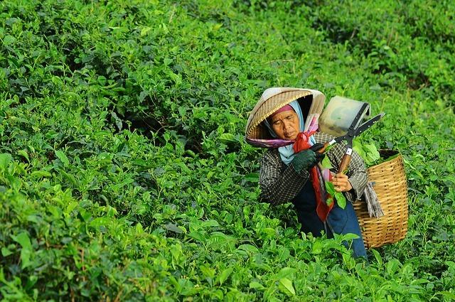 L'Histoire du thé en Inde