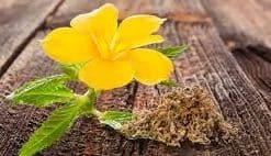 Fumer de la Damiana : Une Plante Médicinale Secrète