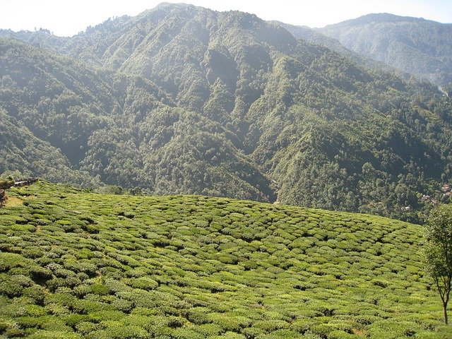 jardin de thé en inde