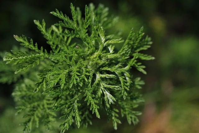 Fumer l'Armoise : la Plante Qui Vous Fait Rêver