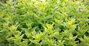 Les plantes à fumer et à cultiver