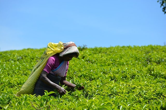 Les 10 Principaux Pays Producteurs de Thé au Monde