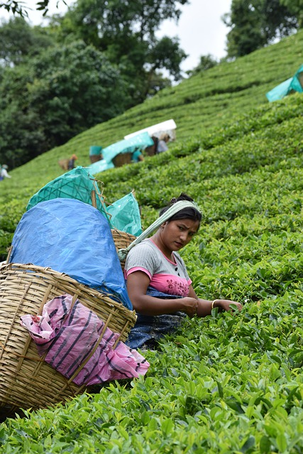 Top 10 des Marques de thé Vert Indien (Cette année)