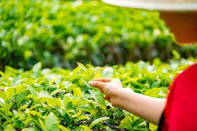 Fumée de thé : Lapsang Souchong et Caravane Russe (thés fumés )
