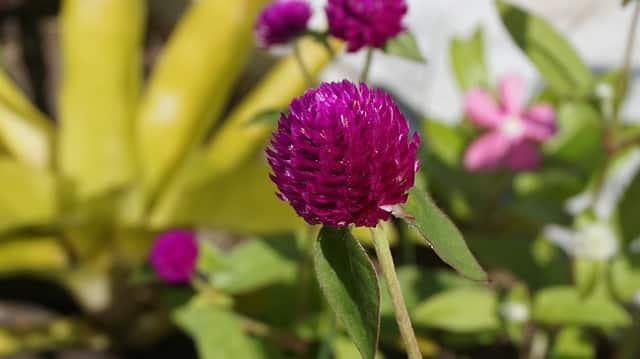 Fleurs de Thé et Amaranthe : Bienfaits et Préparation