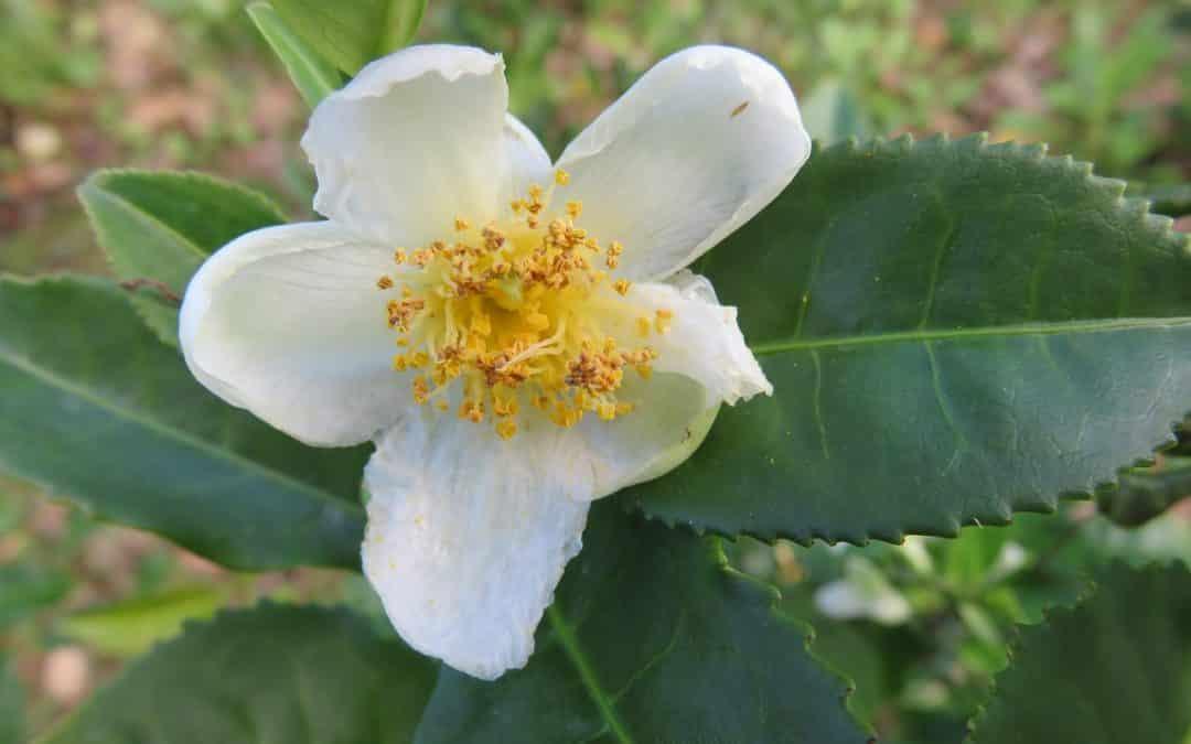 Huile de Graines et Feuilles de Camellia Sinensis (bienfaits)