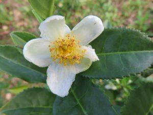 7 Bienfaits de Camellia Sinensis (plante de Thé)
