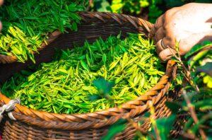Qu'est-ce Que le Thé Vert ? (et 10 Bienfaits Prouvés)
