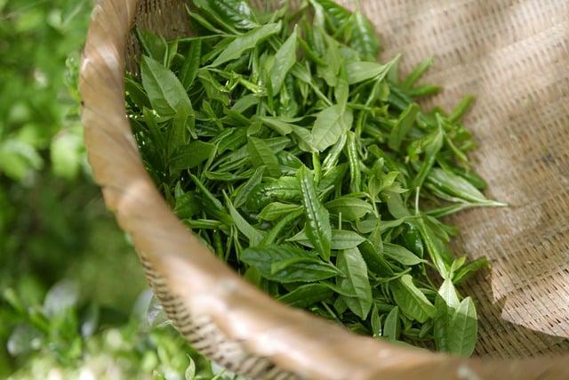 Le Thé Vert Améliore t il la Pression Sanguine ? (selon la science)